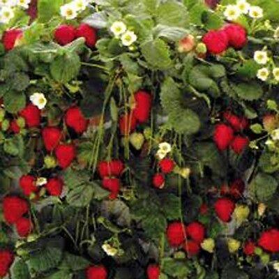 "STRAWBERRY ""RAMBLING CASCADE"" 100+ seeds"