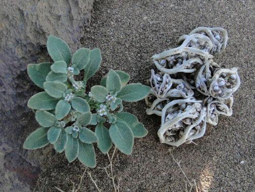 Anastatica hierochuntica seeds Rose of Jericho herb seed resurrection plant