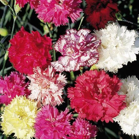 CARNATION 'Mix' 50 seeds mixed colours flower garden edible dwarf SCENTED