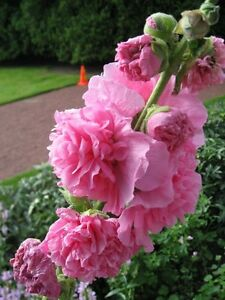 Chater/'s Rose Hollyhock Alcea Rosea 30 Seeds