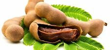 3 Seeds of Organic Non GMO TAMARIND - Ready to Plant/Free Shipping