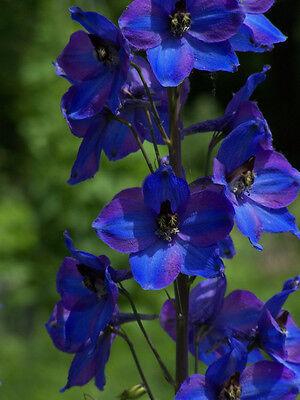 Larkspur Seeds ★ Blue Spire ★ Rich, Dark Blue Flower Spikes ★ 2015 ★ 25+ Seeds ★