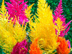 Celosia-Pampas-Plume-Mix-Seed-6-Colours-Cockscomb-Tall-Variety-to-1-2-m-48-in