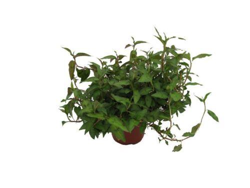 Koriander Pflanze Vietnam-Koriander