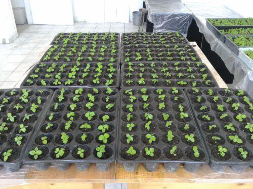 Árbol de rápido crecimiento 1500-10000 semillas+Obsequio Paulownia elongata
