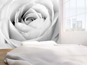 Carta Da Parati Rosa Bianca : Rosa bianca primo piano foto carta da parati murale 8965540