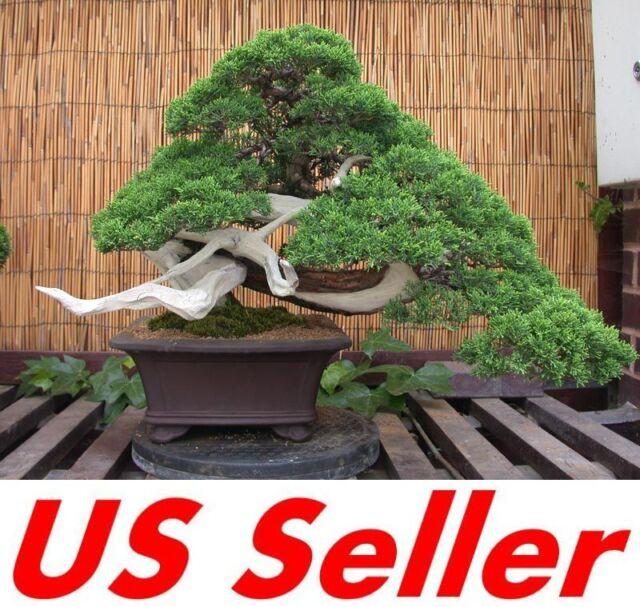 10 Pcs Juniper Bonsai Seeds T4 Small Evergreen Bonsai Seeds For Sale Online Ebay