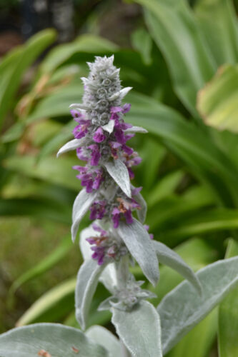 Stachys Byzantina noticible 80 Seeds wollziest Medicinal Plant seeds Semi