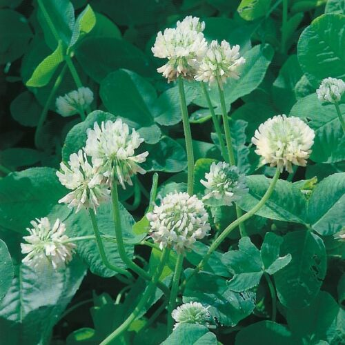 Kings Seeds 30sq m Pack Green Manure Clover White
