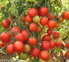 """40 Seeds India's 1st Triple Disease Resistant Tomato F1 Hybrid """"Arka Rakshak"""""""