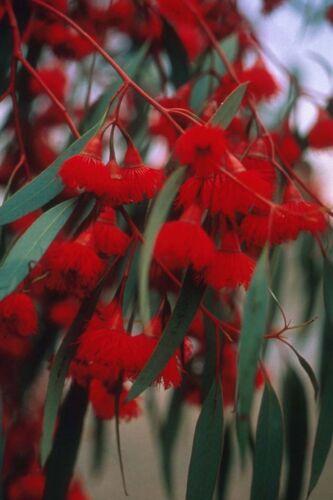 RARE 40 graines d/' EUCALYPTUS SIDEROXYLON ROSEA H235 RED IRONBARK SEEDS SEMILLA