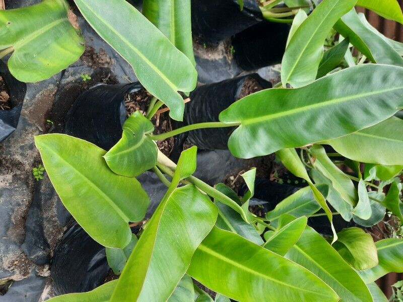 Creeping Philodendron For Sale!!