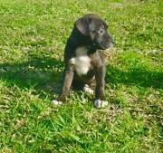 American Staffy In Newcastle Region Nsw Dogs Puppies Gumtree Australia Free Local Classifieds