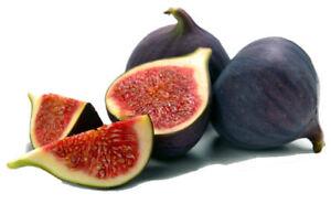 4-Fig-Trees-Black-Mission-Four-Live-Plants-Fruits-Tree-Best-Plant-Garden-2-034-Pot