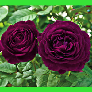 Image Is Loading Dark Purple Rose Flower Seed Bush Tree Plant
