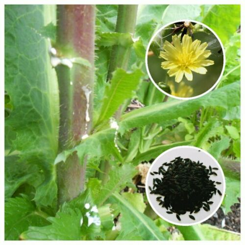 Lactuca virosa Opium Lettuce 25 Seeds *Free International Shipping*