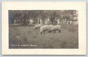 New-Haven-Demster-Beach-New-York-Sheep-Grazing-by-Woods-c1915-RPPC