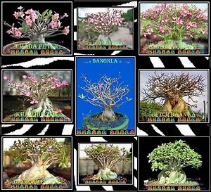 Details about ❀⊱ ADENIUM ARABICUM THAI SOCOTRANUM CAUDEX BONSAI HOUSE PLANT  SEEDS Ƹ̵̡Ӝ̵̨̄Ʒ✿S