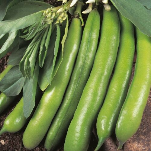 Kings Seeds 50 Seeds Broad Bean Dreadnought