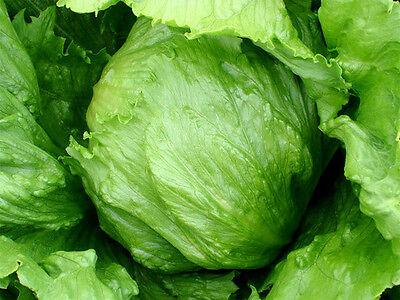 Romaine Lettuce Seeds Bulk 20k Seeds 1oz Heirloom