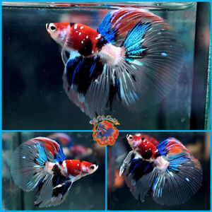 Live Betta Fish Male RARE Galaxy HALF & HALF Red White Tiger Koi Halfmoon #J850