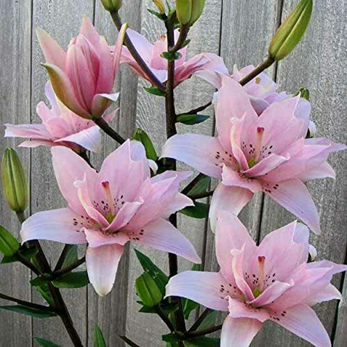 Deep Pink Rain Lily Bulbs Corms Perennial Flower Plants Gardening Potted Bonsai