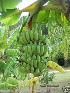 Pygmy Banana Tree Seeds Grow Your Own Fruit Dwarf Banana Fruit