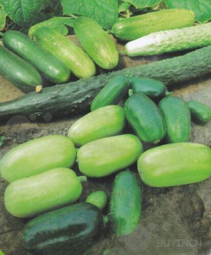 Variety Fruit white Cucumber Seeds Garden Vegetable Color package 彩包蔬菜水果刺白玉黄瓜种子