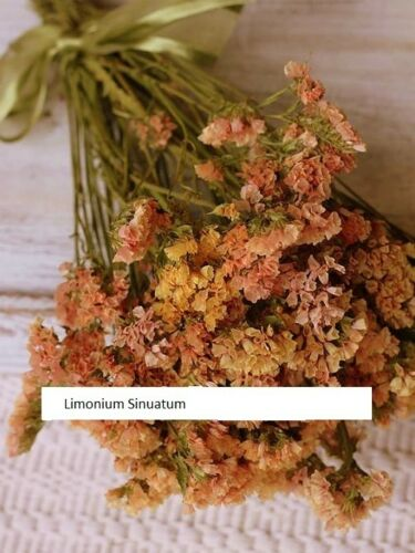 Limonium mill Kermek Suprim Apricot Flower Seeds from Ukraine
