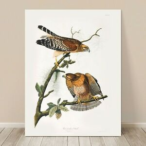 "FAMOUS BIRD ART ~ CANVAS PRINT  24x18"" ~ JOHN AUDUBON ~ Red Shouldered Hawk"