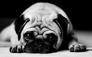 Framed Print - Black & White Pug (Picture Poster Dog Puppy ...