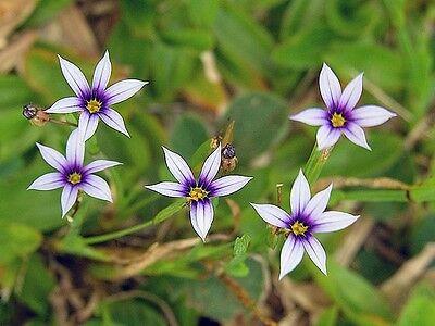 30+ White Blue Eyed Grass Perennial Flower Seeds