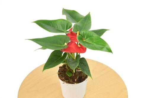 """4/"""" Pot Red Anthurium"""
