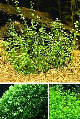 Sumpfiris winterharte Wasserpflanzen für den Teich Teichpflanzen Teichpflanze