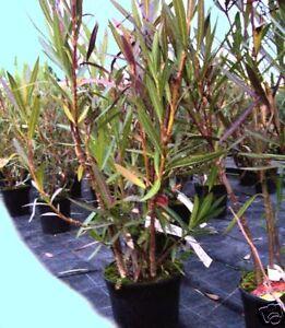 PIANTA-di-OLEANDRO-Nerium-oleander-PIANTE-in-VASO