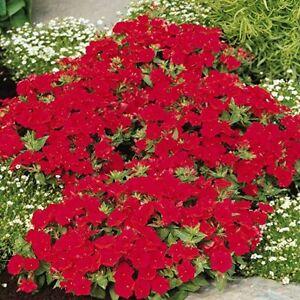 Phlox scarlet 5,000 seeds