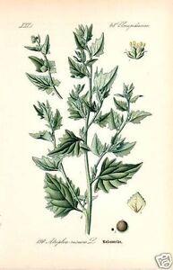 Melden-Atriplex-Rosen-Melde-Nahrungspflanze-Pottasche-Lithographie-Thome-1886