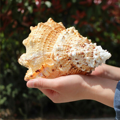 Natural Conch Tutufa Rubeta Shells Coral Sea Snail Fish Tank Home Decoration EBM
