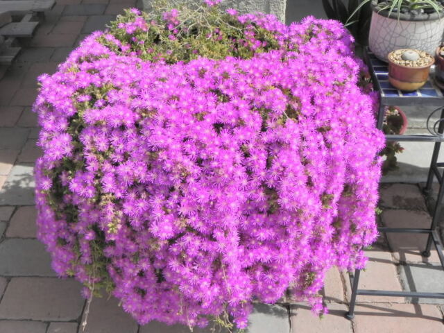 18 cuttings ice plant purple ground cover rare cactus succulent 18 cuttings ice plant purple ground cover rare cactus succulent flower pink mightylinksfo