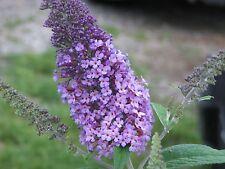 SEEDS 40 graines ARBRE A PAPILLONS MAUVE(Buddleia Davidii ORCHID BEAUTY)