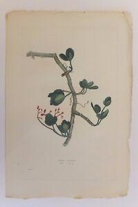 """""""cissus Caustica"""", Planche De """"la Flore Des Antilles"""" De Tussac, 1808 Non Repassant"""