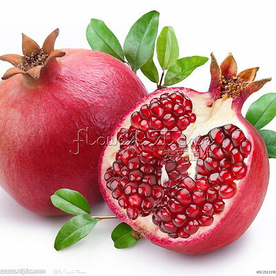 20 POMEGRANATE TREE Punica Granatum Fruit Seeds~Organic