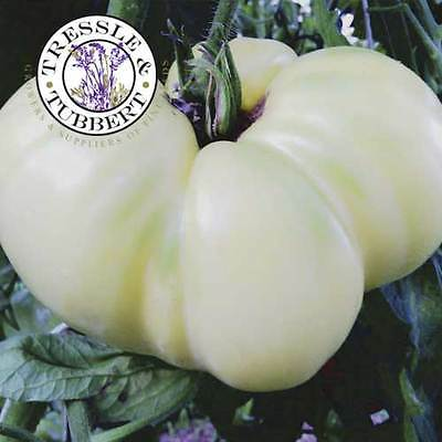 Rare Great White Tomato  - 10 seeds - UK SELLER