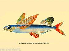 Flying Fish (Malolo) - Waikiki Hawaii United States Travel Advertisement Poster