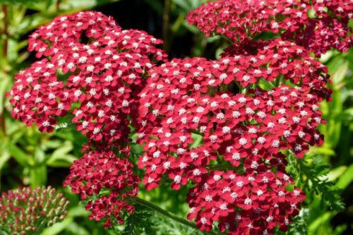 500 graines d/' Achilée Rouge X166 SEEDS SEMI SEMILLA Achillea Millefolium Rubra