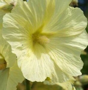 HOLLYHOCK SINGLE MIX Alcea ficifolia 110 SEEDS PERENNIAL TALL  FLOWER