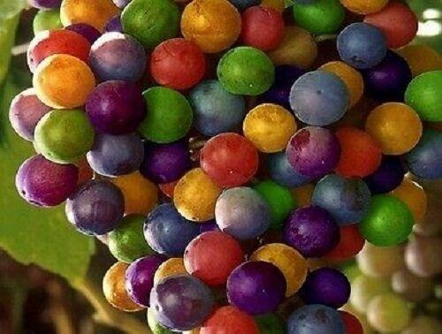 Buy Any 3 Get 1 FREE!! 25-50-100-200 Rainbow Grape Fruit Seeds Purple Blue Red