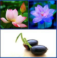 Bonsai Lotus Seeds Combo Pack: Sacred Pink || Evening Purple Lotus || Rare Seeds