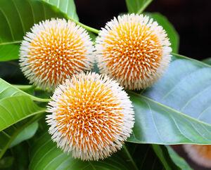 Der Nadelkissenbaum hat süße, ungewöhnliche, schöne runde Blüten.
