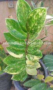 Rare-Zamioculcas-zamifolia-Variegated-Leaf-Zamioculcas-zamifolia-is-special